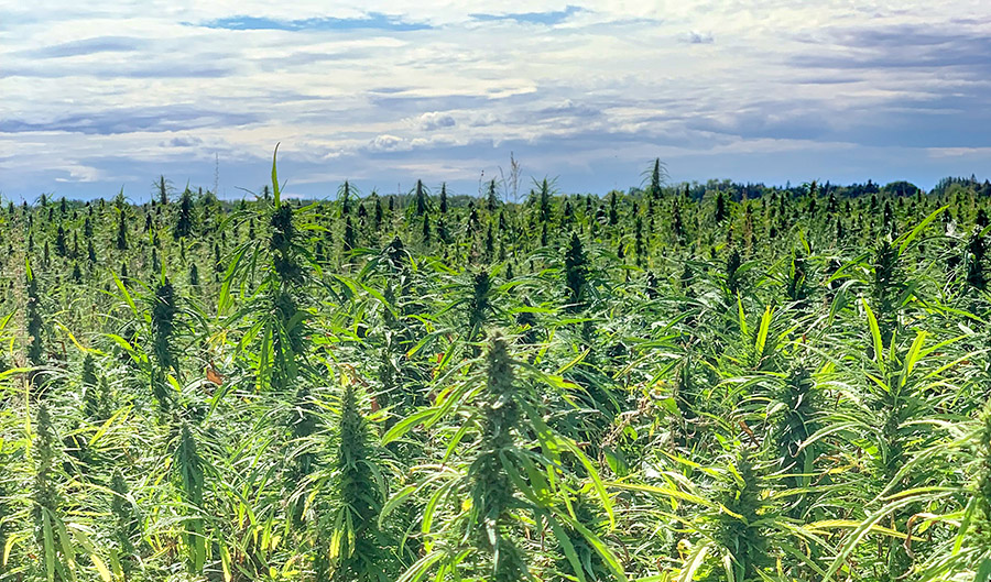 Manitoba Harvest GRAS