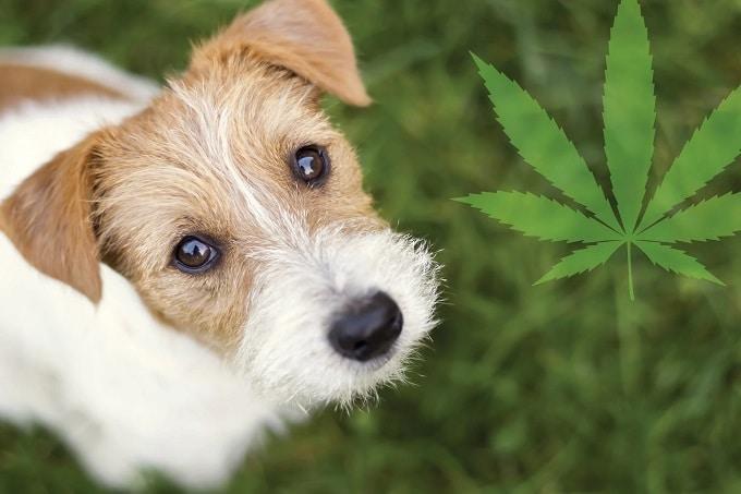 CBD Side-effects on pets